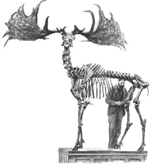 irish_elk25